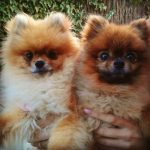 A weekend with the Pomeranians