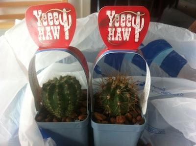 mini cactus (3)