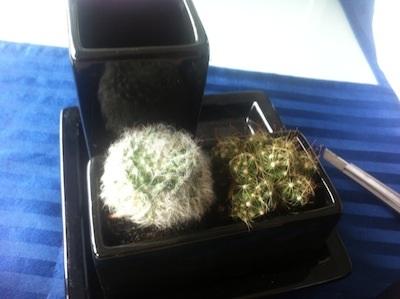 mini-cactus (4)