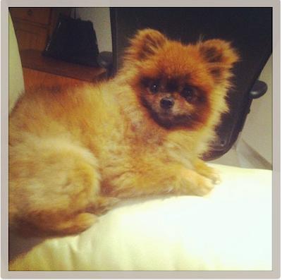 small-dog-goochie (2)