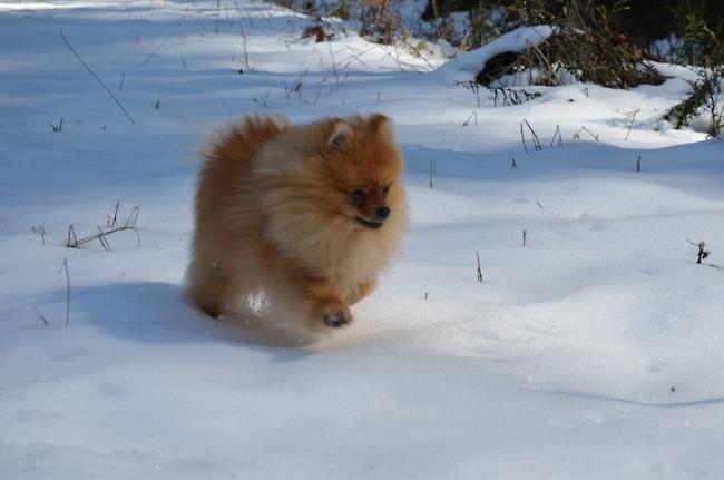 Pomeranian (3)