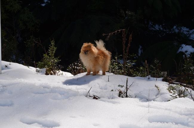 Pomeranian (6)