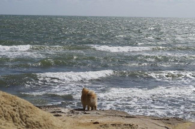 Pomeranian (8)