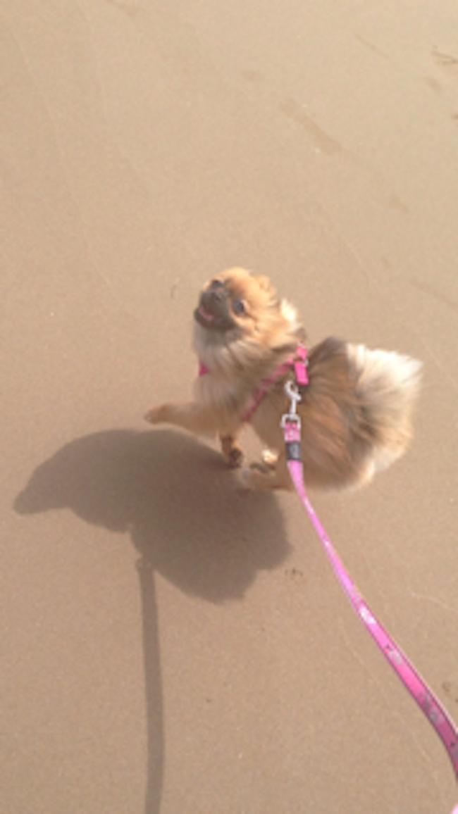 Pomeranian1