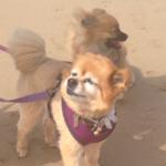 Pomeranians at the Beach