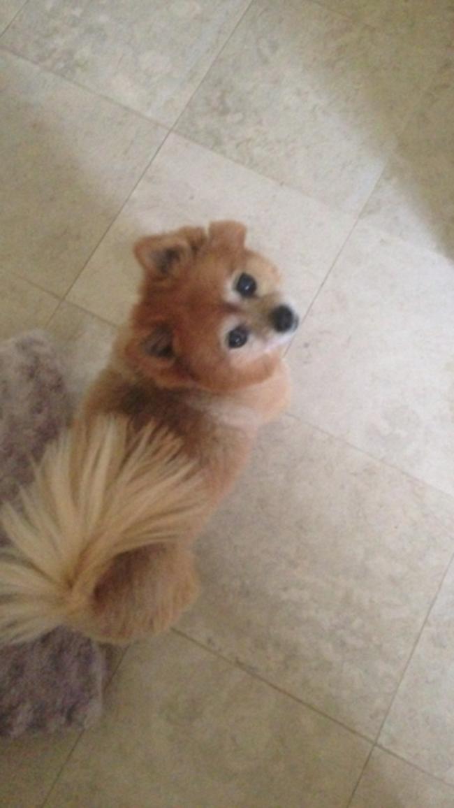 Pomeranian4