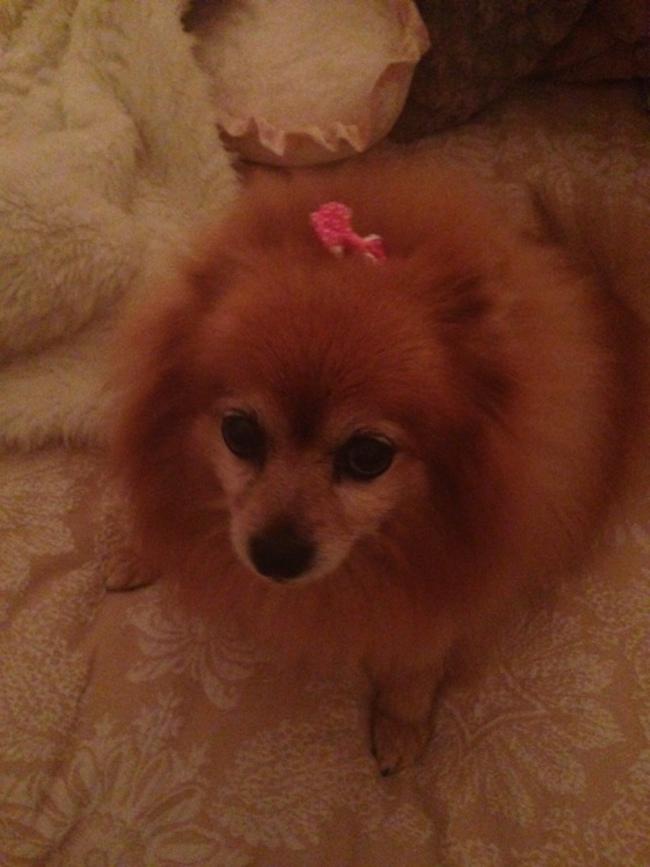 Pomeranian5