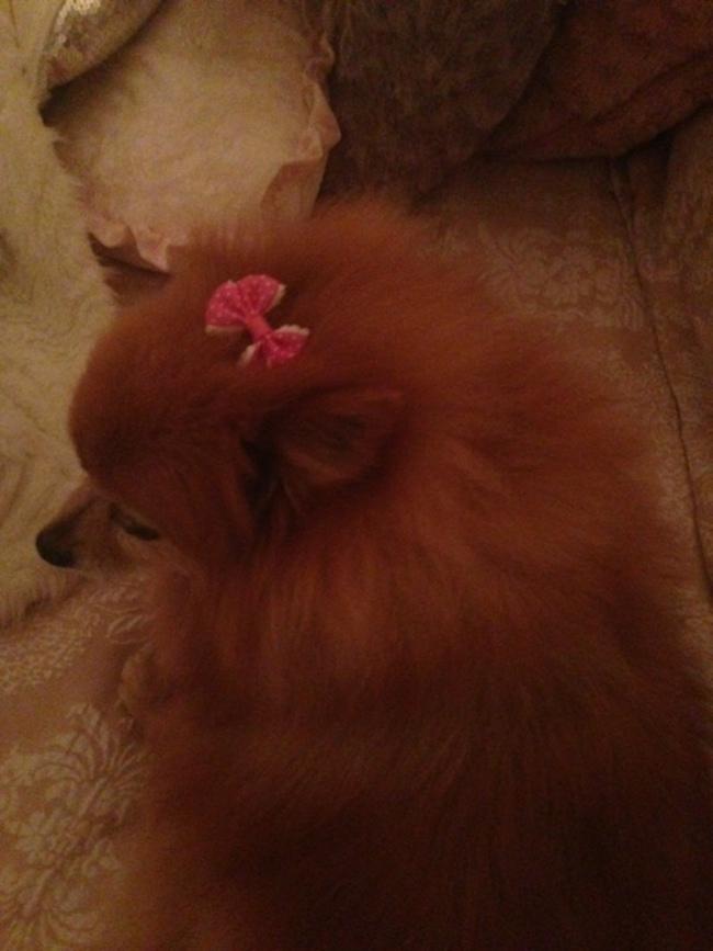 Pomeranian6