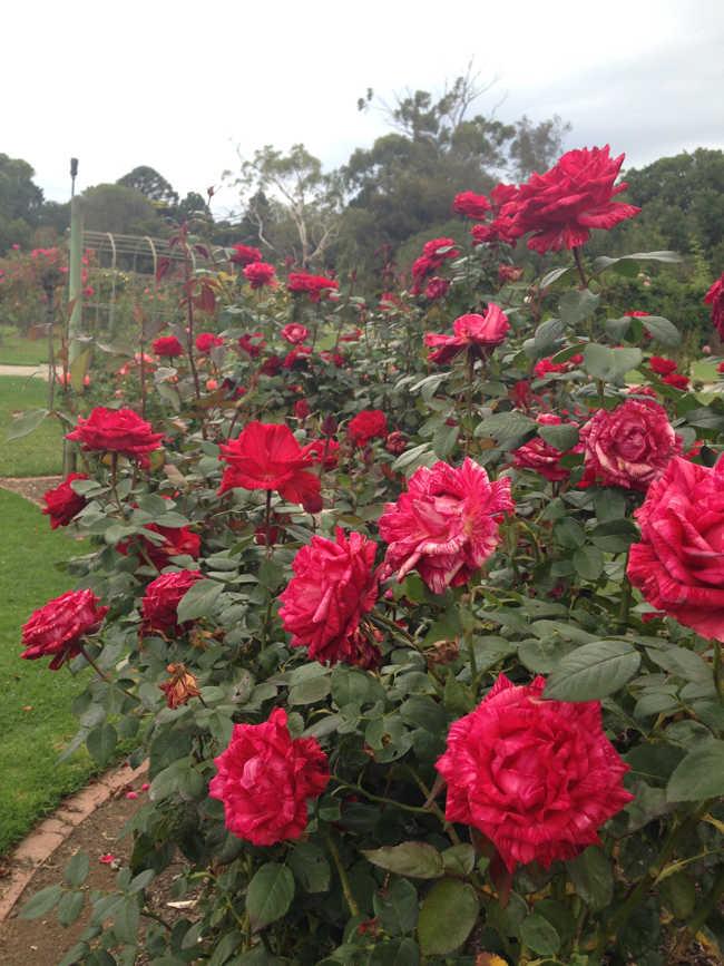 Werribee Mansion flower garden & park (5)