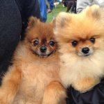 Pomeranians at the RSPCA Million Paws Walk Melbourne