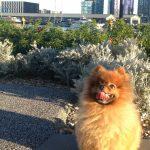 A Pomeranian's Temperament
