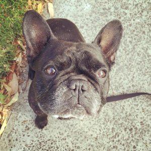 Oscar_Bull_Dog