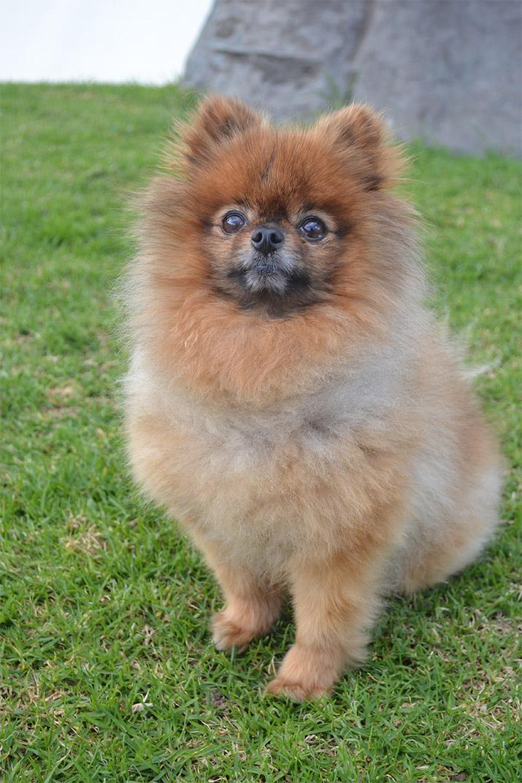 Goochie Pomeranian