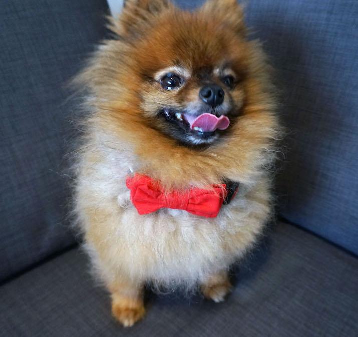 Emilia-Rossi-Blog-Goohie-Pomeranian-3