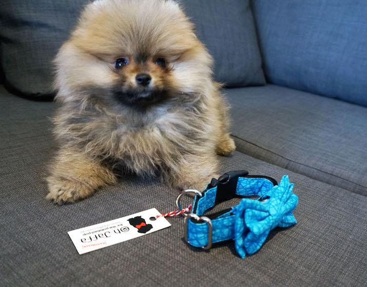 Emilia-Rossi-Blog-Pomeranian-2