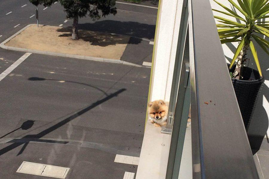 Winston the Pomeranian